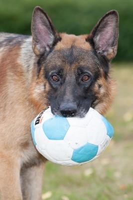 Wolf adoptiehond asiel Zwolle