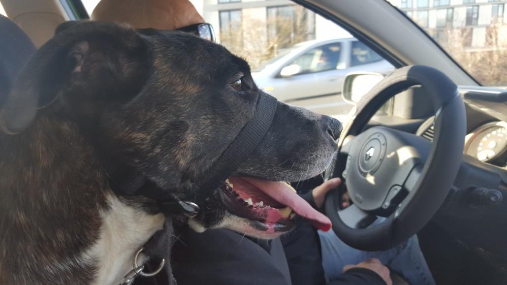 Asielhond Spike mee in de auto